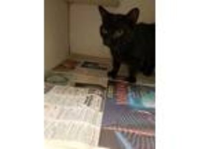 Adopt Munchkin a All Black Domestic Shorthair / Domestic Shorthair / Mixed cat