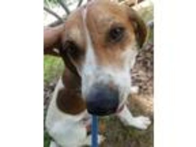 Adopt TACK a Brown/Chocolate - with White Foxhound / Mixed dog in Clyde