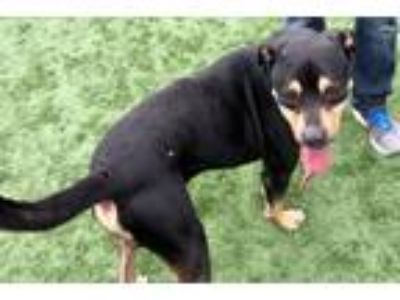 Adopt Hank a Black - with Tan, Yellow or Fawn Rottweiler / Labrador Retriever /