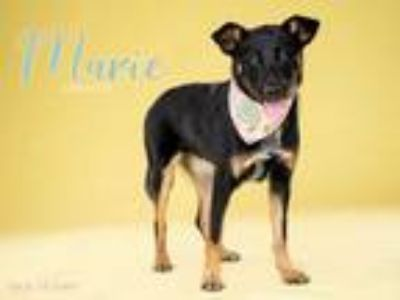 Adopt *MARIE a Black - with Tan, Yellow or Fawn German Shepherd Dog / Mixed dog