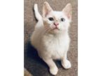 Adopt Caspian a White (Mostly) Domestic Shorthair (short coat) cat in River