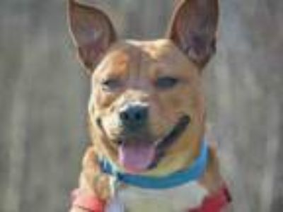 Adopt DONTEZ a Pit Bull Terrier, Mixed Breed