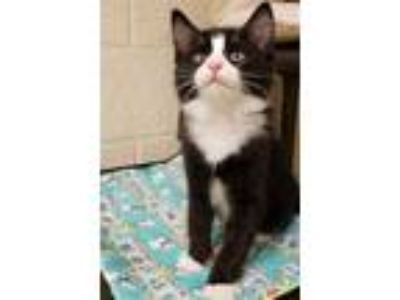 Adopt GOBY a Black & White or Tuxedo Domestic Shorthair / Mixed (short coat) cat
