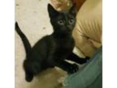Adopt Perth a Domestic Short Hair