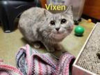 Adopt VIXEN a Calico or Dilute Calico Domestic Shorthair (short coat) cat in