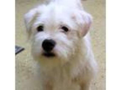 Adopt Bella a Terrier (Unknown Type, Medium) / Shih Tzu / Mixed dog in York