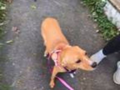 Adopt Sophia a Tan/Yellow/Fawn - with White Labrador Retriever / Mixed dog in