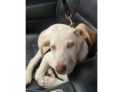Adopt Elenor a Labrador Retriever