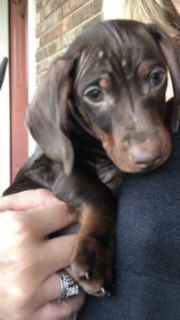 Dachshund PUPPY FOR SALE ADN-99172 - Miniature Dachshund