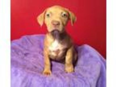 Adopt Virginia a Tan/Yellow/Fawn Pit Bull Terrier / Mixed dog in Acworth