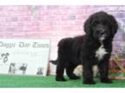Marty Male Sheepadoodle Puppy