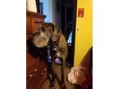 Adopt Diesel a Brown/Chocolate - with Black Great Dane / Mixed dog in Loveland