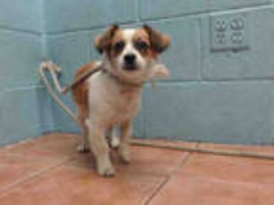 Adopt JELLYBEAN a Tricolor (Tan/Brown & Black & White) Jack Russell Terrier /