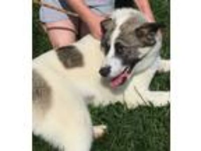 Adopt Dane a White - with Gray or Silver Australian Shepherd / Mixed dog in