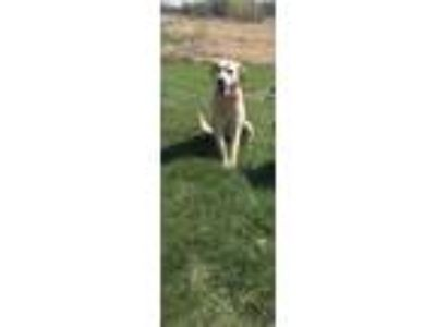 Adopt Maggie a Tan/Yellow/Fawn Labrador Retriever / Whippet / Mixed dog in Prior