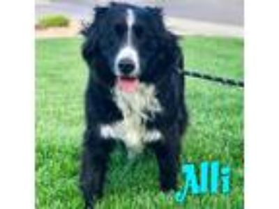 Adopt Alli a Black - with White Border Collie / Mixed dog in Windsor
