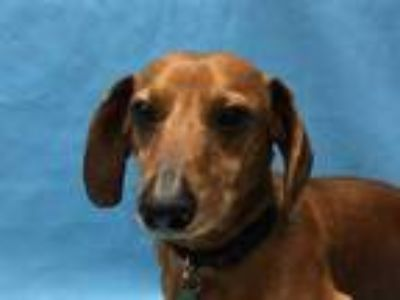 Adopt Rusty a Red/Golden/Orange/Chestnut Dachshund / Mixed dog in Golden Valley