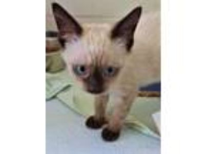 Adopt Patrick a Brown or Chocolate Siamese / Domestic Shorthair / Mixed cat in