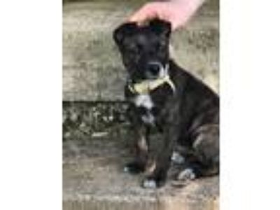 Adopt Baby Girl a Irish Terrier, Boxer