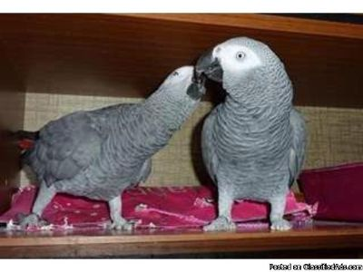 African Grey Male And Female for adoption
