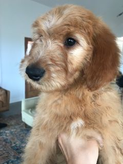 Goldendoodle PUPPY FOR SALE ADN-99493 - Goldendoodles Available