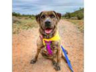 Adopt Indigo a Brindle - with White Labrador Retriever / Mixed dog in Phoenix