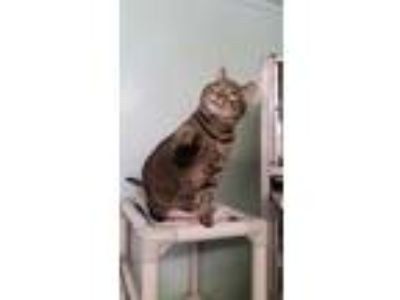 Adopt Stella a Brown or Chocolate Domestic Shorthair / Domestic Shorthair /