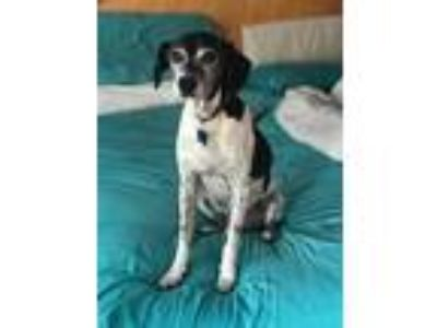 Adopt Spackle aka Bingo a Black - with White Rat Terrier / Beagle / Mixed dog in