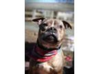 Adopt Carter a American Staffordshire Terrier, Boxer