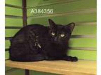 Adopt FANCY a All Black Domestic Shorthair / Mixed (short coat) cat in St.