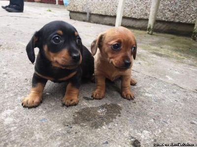 Stunning 3/4 Mini Dachshund 1/4 Chihuahua Male Pup