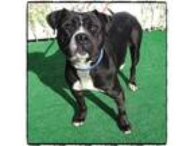 Adopt SHADOW a Black - with White Pit Bull Terrier / Mixed dog in Marietta