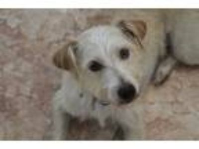 Adopt Dusy a White Terrier (Unknown Type, Small) / Mixed dog in Huntington