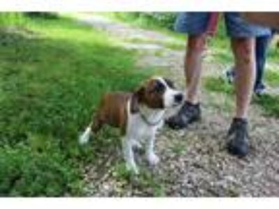Adopt Pepper a Pit Bull Terrier / Mixed dog in Osage Beach, MO (25529397)