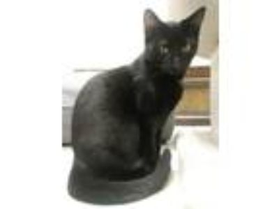 Adopt Jenny a Domestic Shorthair / Mixed cat in Osage Beach, MO (22790861)
