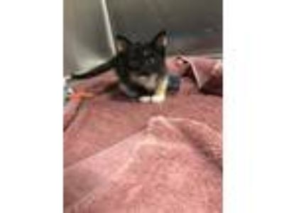Adopt Blanket a All Black Domestic Shorthair / Domestic Shorthair / Mixed cat in