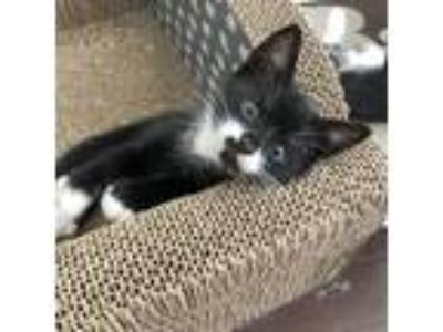 Adopt Snoopy a All Black Domestic Shorthair / Domestic Shorthair / Mixed cat in