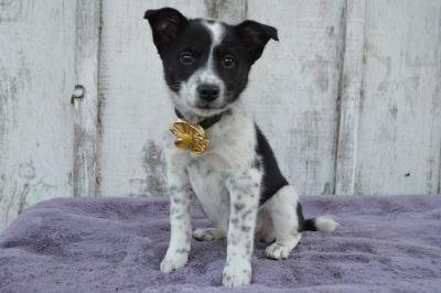 Australian Cattle Dog PUPPY FOR SALE ADN-109396 - DAKOTE