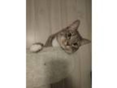 Adopt Talluleh a Domestic Short Hair