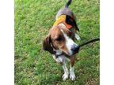Adopt Bailee a Hound (Unknown Type) / Mixed dog in Chantilly, VA (22345879)