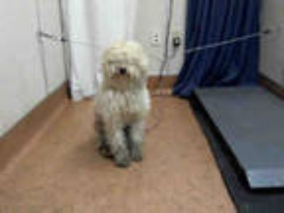 Adopt * MR. MOPS a White Poodle (Miniature) / Mixed dog in Sacramento