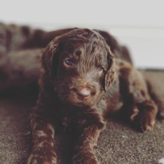 Goldendoodle PUPPY FOR SALE ADN-90327 - Chocolate F1B Goldendoodle