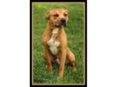 Adopt Rooster a Pit Bull Terrier