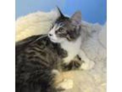 Adopt Abu a Domestic Medium Hair