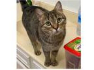 Adopt Penelope a Domestic Short Hair, Tabby