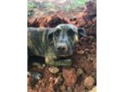 Adopt Dodger the Black a Hound, Australian Cattle Dog / Blue Heeler