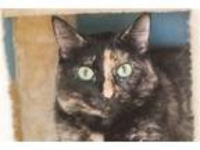Adopt Emma a Domestic Shorthair / Mixed cat in San Diego, CA (25355389)