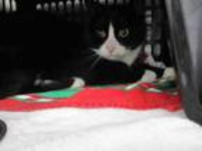 Adopt JASPER a Domestic Short Hair