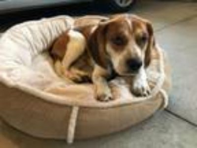 Adopt Gatsby - Foster Needed a Beagle