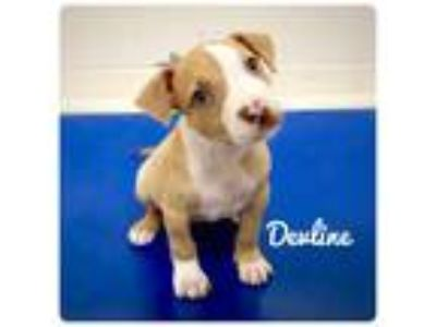 Adopt DEVLINE a Pit Bull Terrier / Mixed dog in Ocala, FL (25853449)